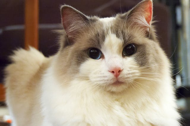 Enophthalmos in Cats - Symptoms, Causes, Diagnosis, Treatment, Recovery, Management, Cost