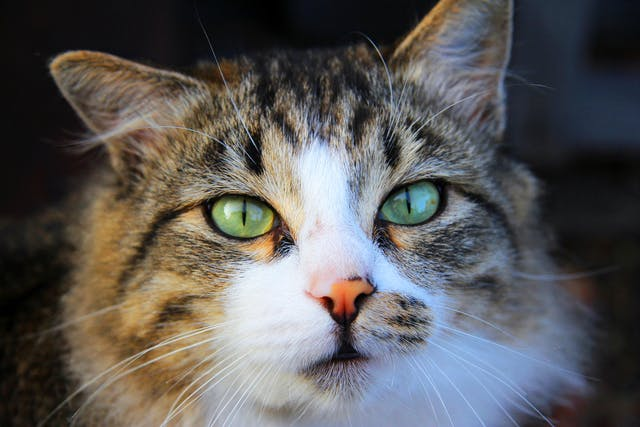 Enteroplication in Cats - Conditions Treated, Procedure, Efficacy, Recovery, Cost, Considerations, Prevention