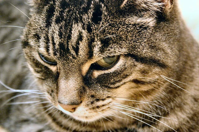 Eosinophilic Gastroenteritis in Cats - Symptoms, Causes, Diagnosis, Treatment, Recovery, Management, Cost