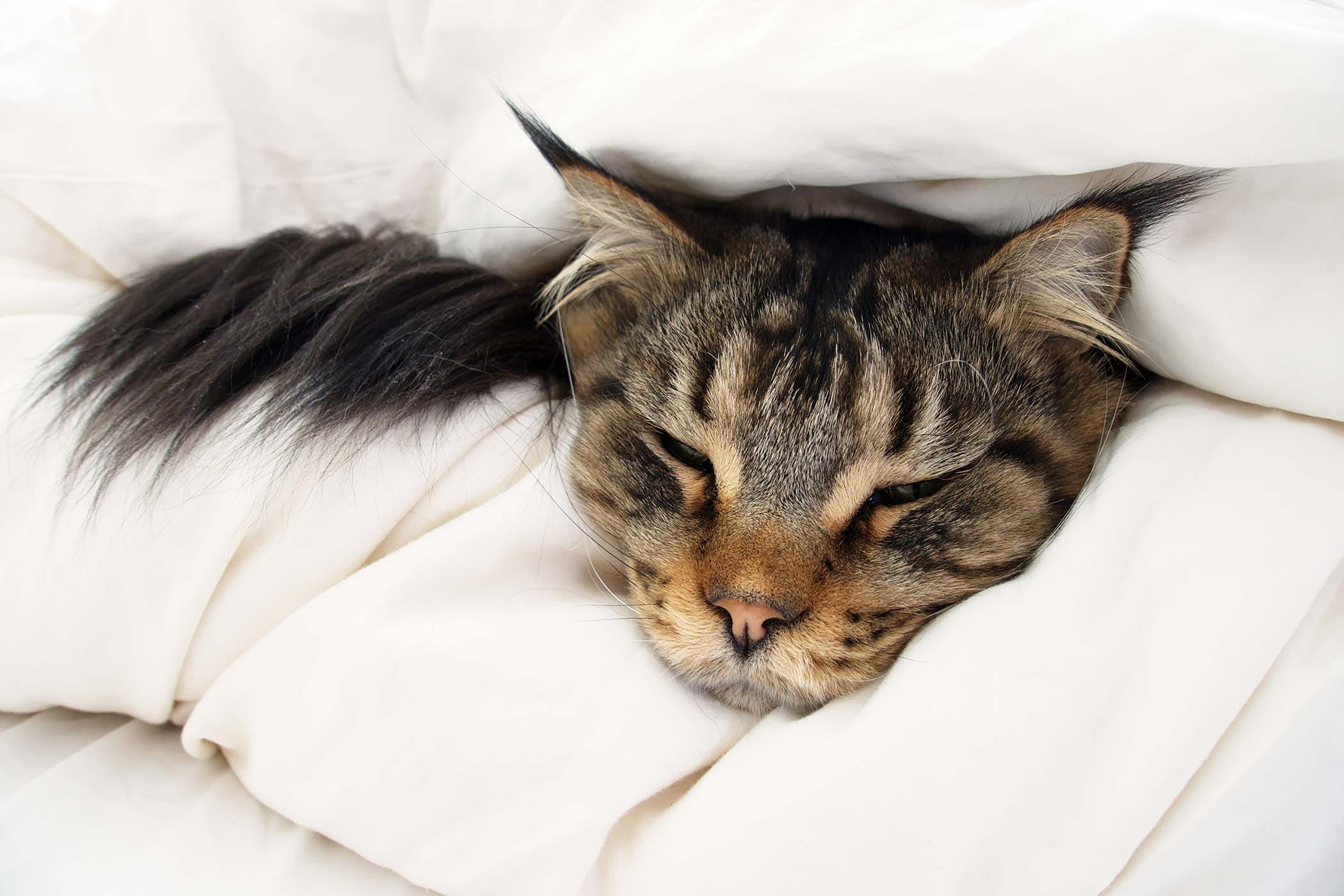 Epileptic Seizures In Cats Symptoms Causes Diagnosis Treatment