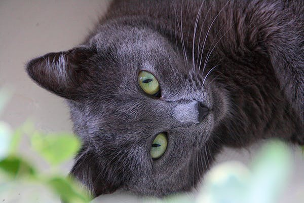 in Cats - Symptoms, Causes, Diagnosis, Treatment, Recovery, Management, Cost