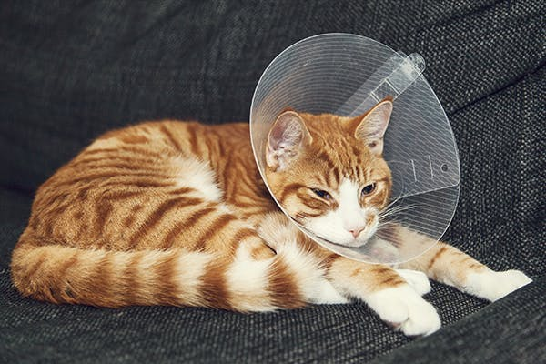 Estrus Symptoms after Spaying in Cats - Symptoms, Causes, Diagnosis, Treatment, Recovery, Management, Cost