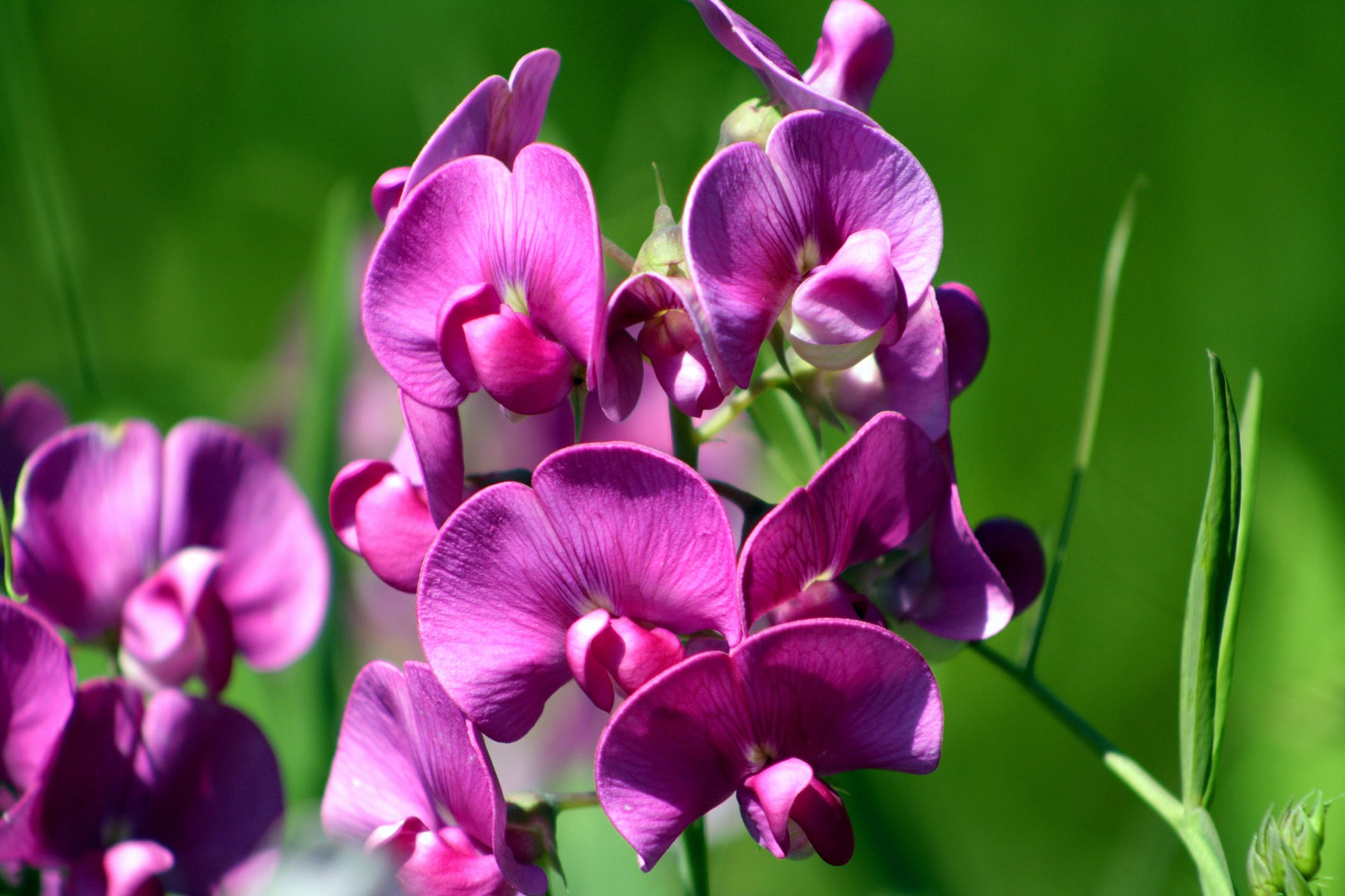 Everlasting Pea Poisoning in Cats