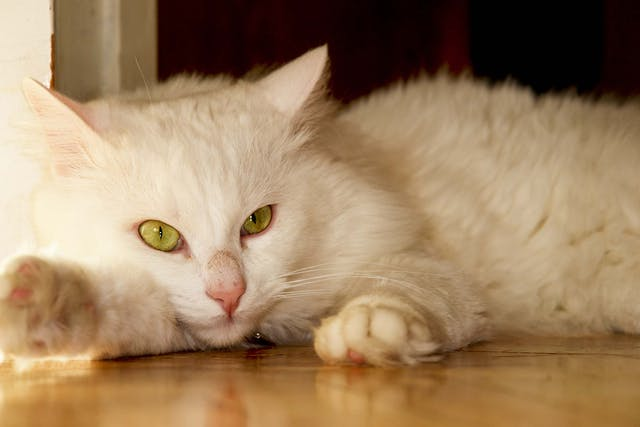 Excess Carbon Dioxide in the Blood in Cats - Symptoms, Causes, Diagnosis, Treatment, Recovery, Management, Cost