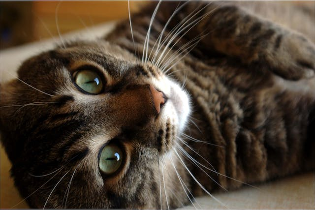 Excess Iron in the Blood in Cats - Symptoms, Causes, Diagnosis, Treatment, Recovery, Management, Cost