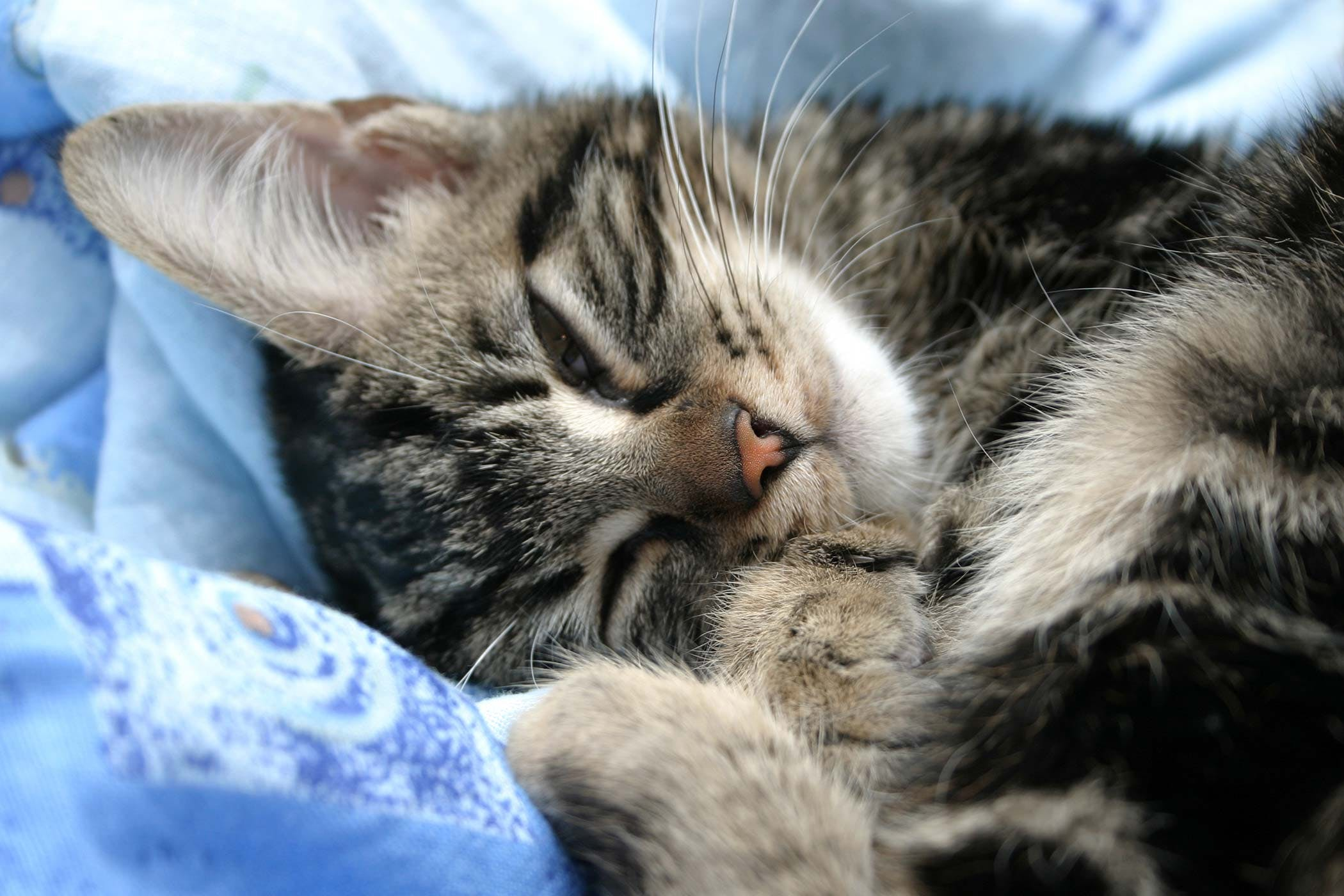 Excess Plasma Proteins in the Blood in Cats