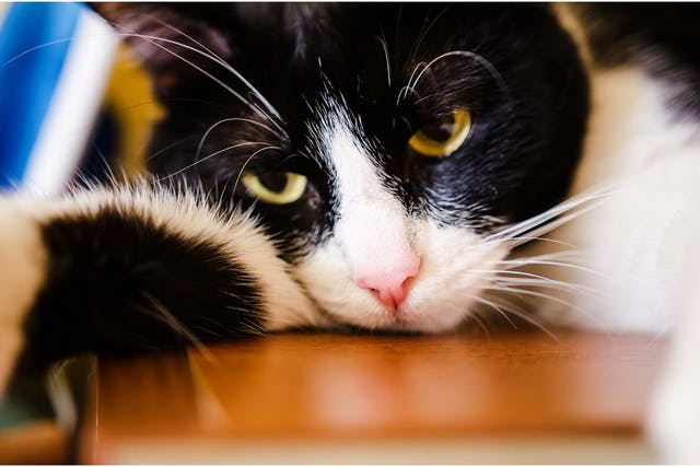 Excess Protein in the Urine in Cats - Symptoms, Causes, Diagnosis, Treatment, Recovery, Management, Cost