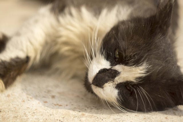 Excessive Potassium in the Blood in Cats - Symptoms, Causes, Diagnosis, Treatment, Recovery, Management, Cost