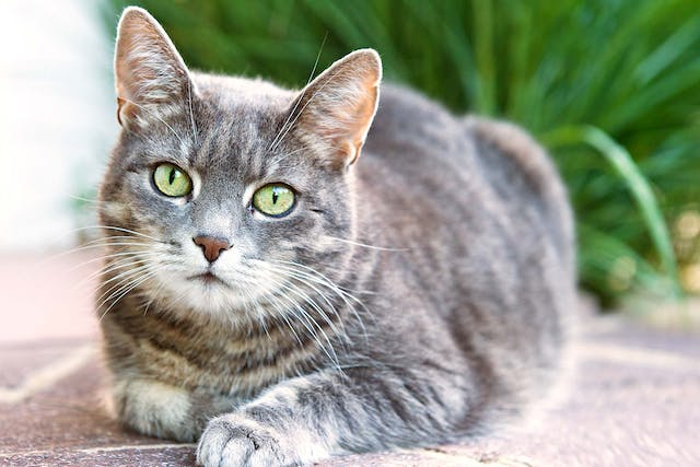 Excessive Production of Saliva in Cats - Symptoms, Causes, Diagnosis, Treatment, Recovery, Management, Cost