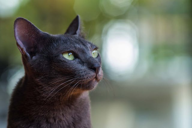 Excessive Vocalization in Cats - Symptoms, Causes, Diagnosis, Treatment, Recovery, Management, Cost