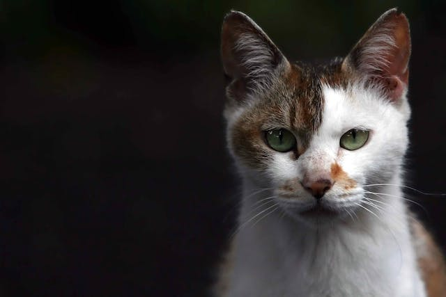 Excision of Tumor on Eyelid in Cats - Conditions Treated, Procedure, Efficacy, Recovery, Cost, Considerations, Prevention