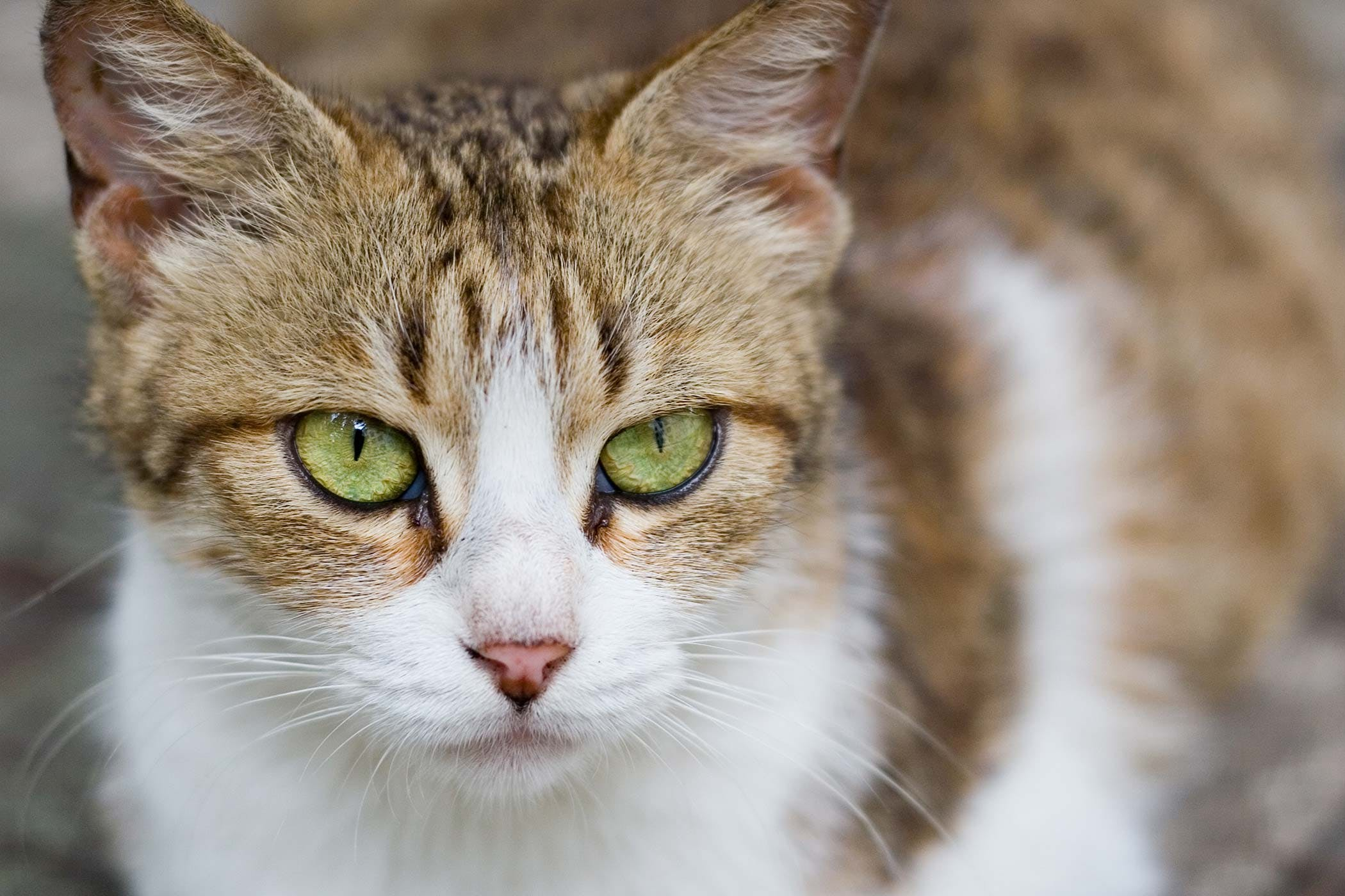 Eye Defects in Cats