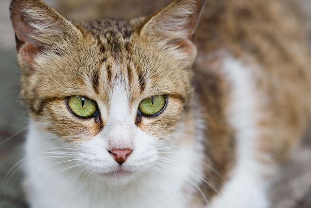 Eye Defects in Cats - Symptoms, Causes, Diagnosis, Treatment, Recovery, Management, Cost