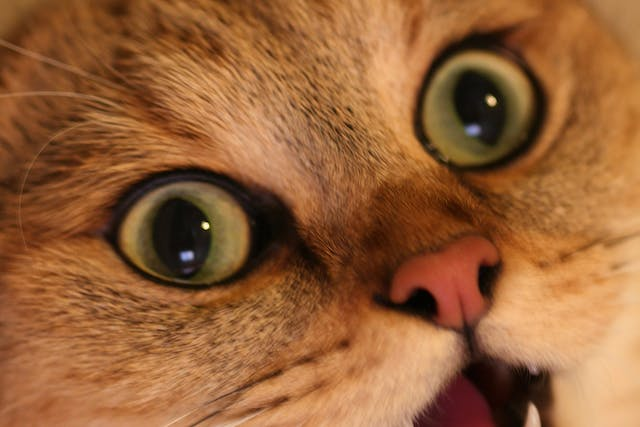 Eye Discharge in Cats - Symptoms, Causes, Diagnosis, Treatment, Recovery, Management, Cost