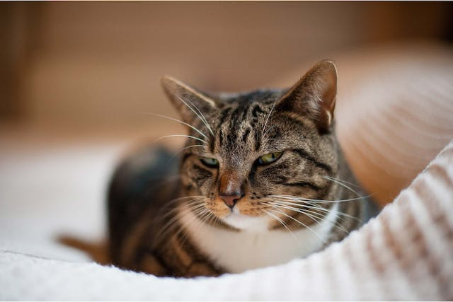 Eye Disease in Cats - Symptoms, Causes, Diagnosis, Treatment, Recovery, Management, Cost