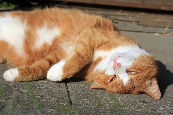 Eye Displacement in Cats - Symptoms, Causes, Diagnosis, Treatment, Recovery, Management, Cost