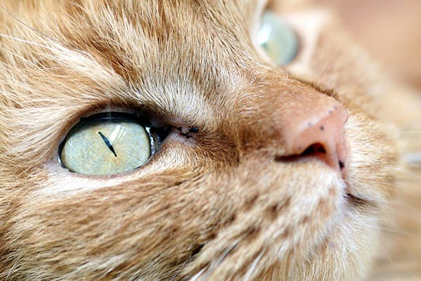Eye Inflammation in Cats - Symptoms, Causes, Diagnosis, Treatment, Recovery, Management, Cost