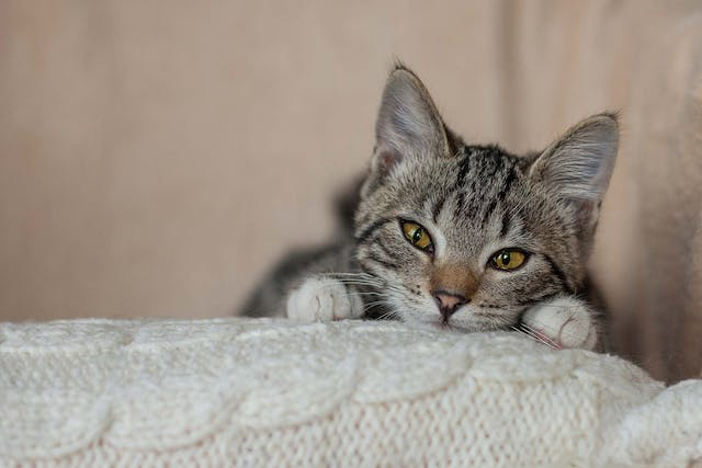 Eye Injuries in Cats - Symptoms, Causes, Diagnosis, Treatment, Recovery, Management, Cost