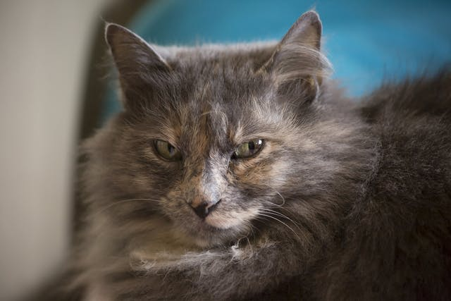 Eye Protrusion in Cats - Symptoms, Causes, Diagnosis, Treatment, Recovery, Management, Cost