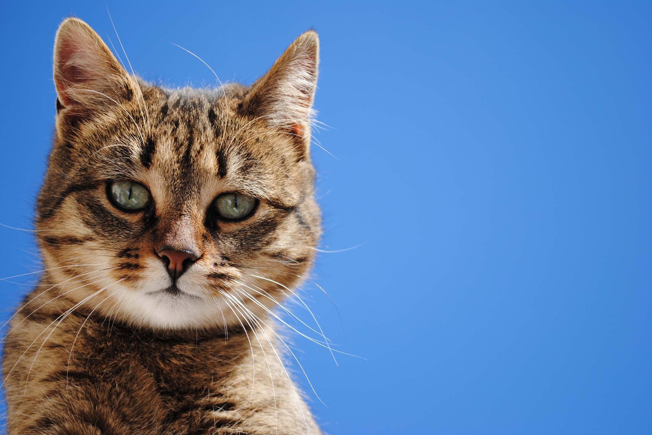 Eyelash Disorders in Cats - Symptoms, Causes, Diagnosis ...