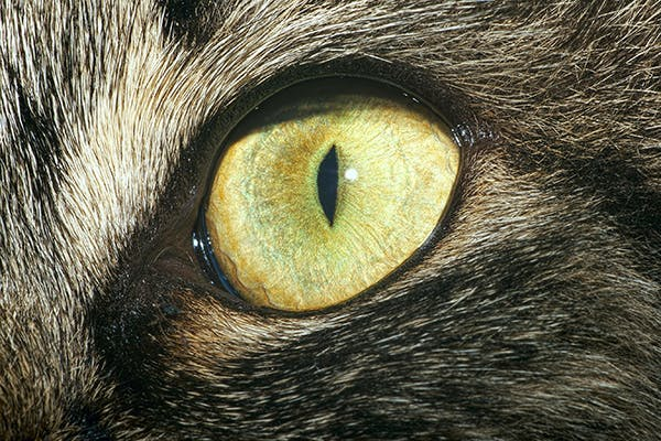 Eyelid Tumors  in Cats - Symptoms, Causes, Diagnosis, Treatment, Recovery, Management, Cost