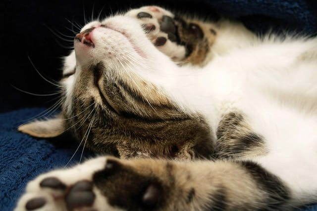 Fainting in Cats - Symptoms, Causes, Diagnosis, Treatment, Recovery, Management, Cost