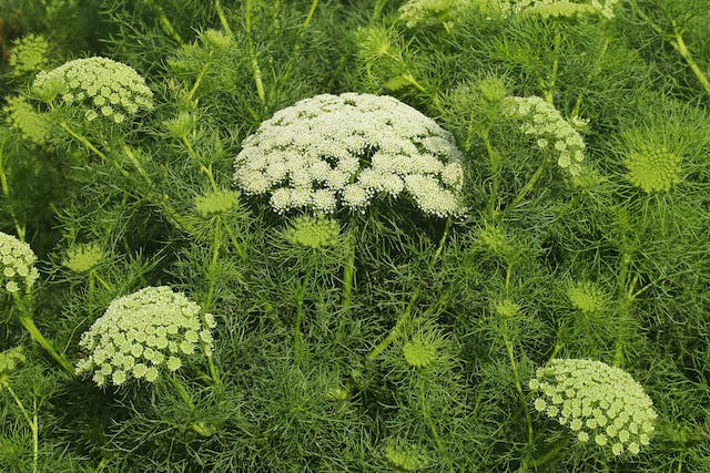 False Queen Anne's Lace Poisoning in Cats - Symptoms, Causes, Diagnosis, Treatment, Recovery, Management, Cost