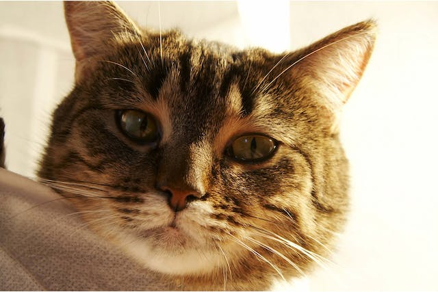 Fatty Tissue Tumor in Cats - Symptoms, Causes, Diagnosis, Treatment, Recovery, Management, Cost