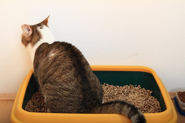 Fecal Mat in Cats - Symptoms, Causes, Diagnosis, Treatment, Recovery, Management, Cost