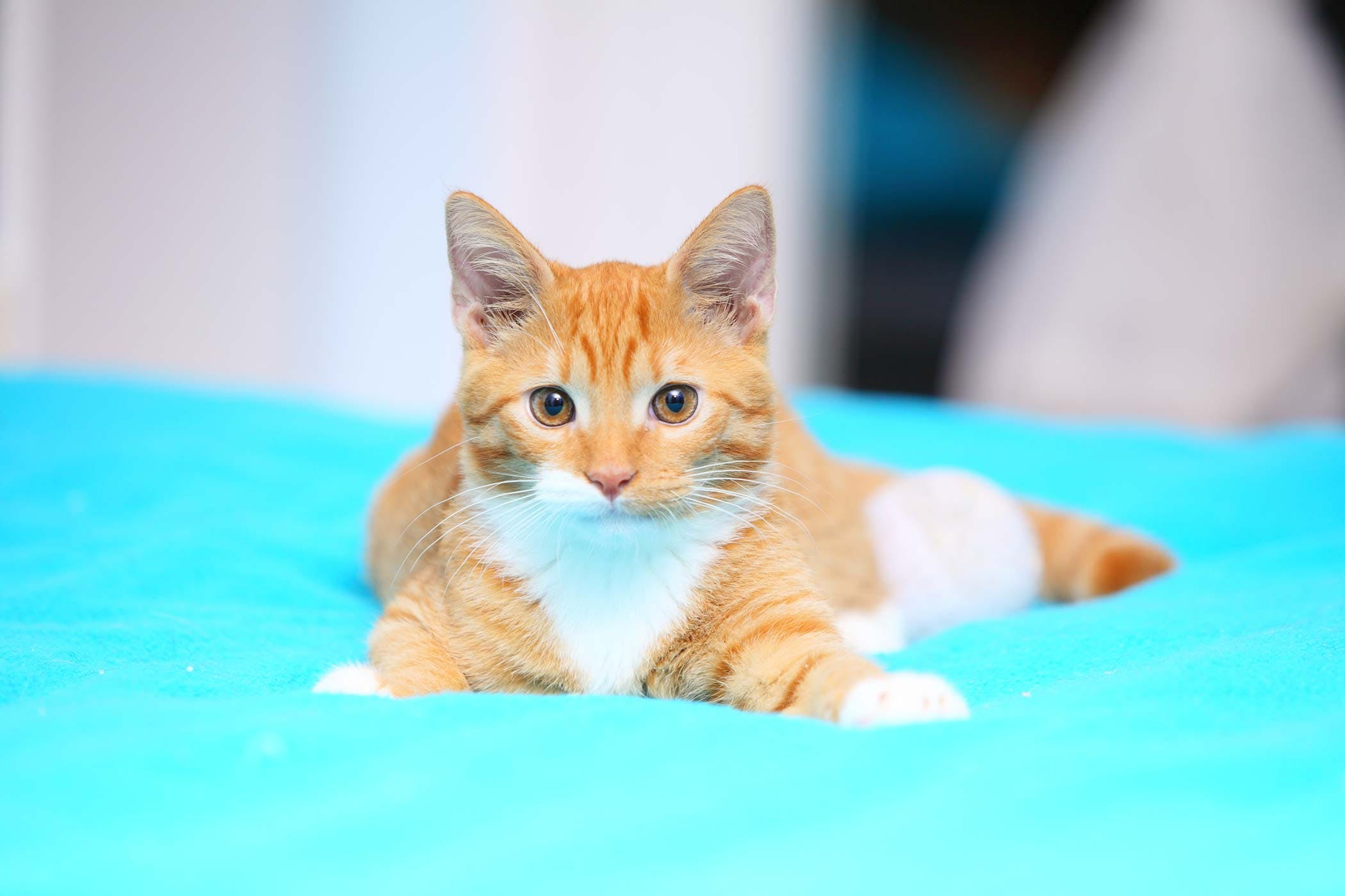 Calcivirosis in cats: symptoms and treatment 52