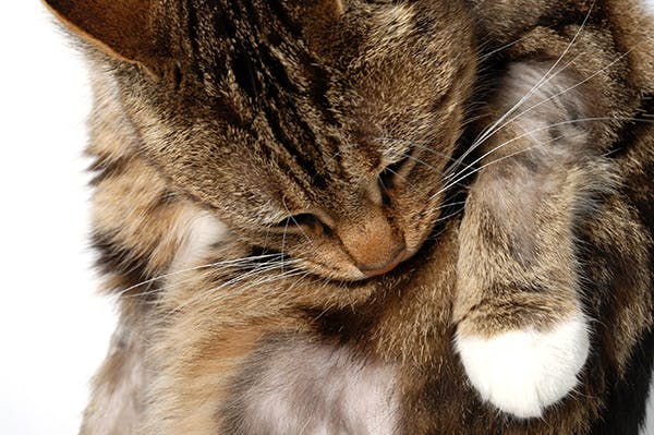 Feline Miliary Dermatitis in Cats - Symptoms, Causes