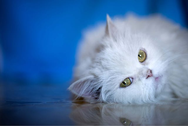 Fever in Cats - Symptoms, Causes, Diagnosis, Treatment, Recovery, Management, Cost