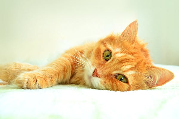 Fish Scale Disease in Cats