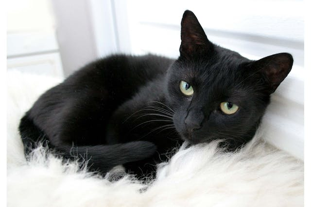 FIV or Feline AIDS in Cats - Symptoms, Causes, Diagnosis, Treatment, Recovery, Management, Cost