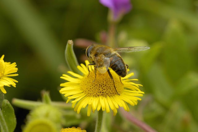 Fleabane Poisoning in Cats - Symptoms, Causes, Diagnosis, Treatment, Recovery, Management, Cost