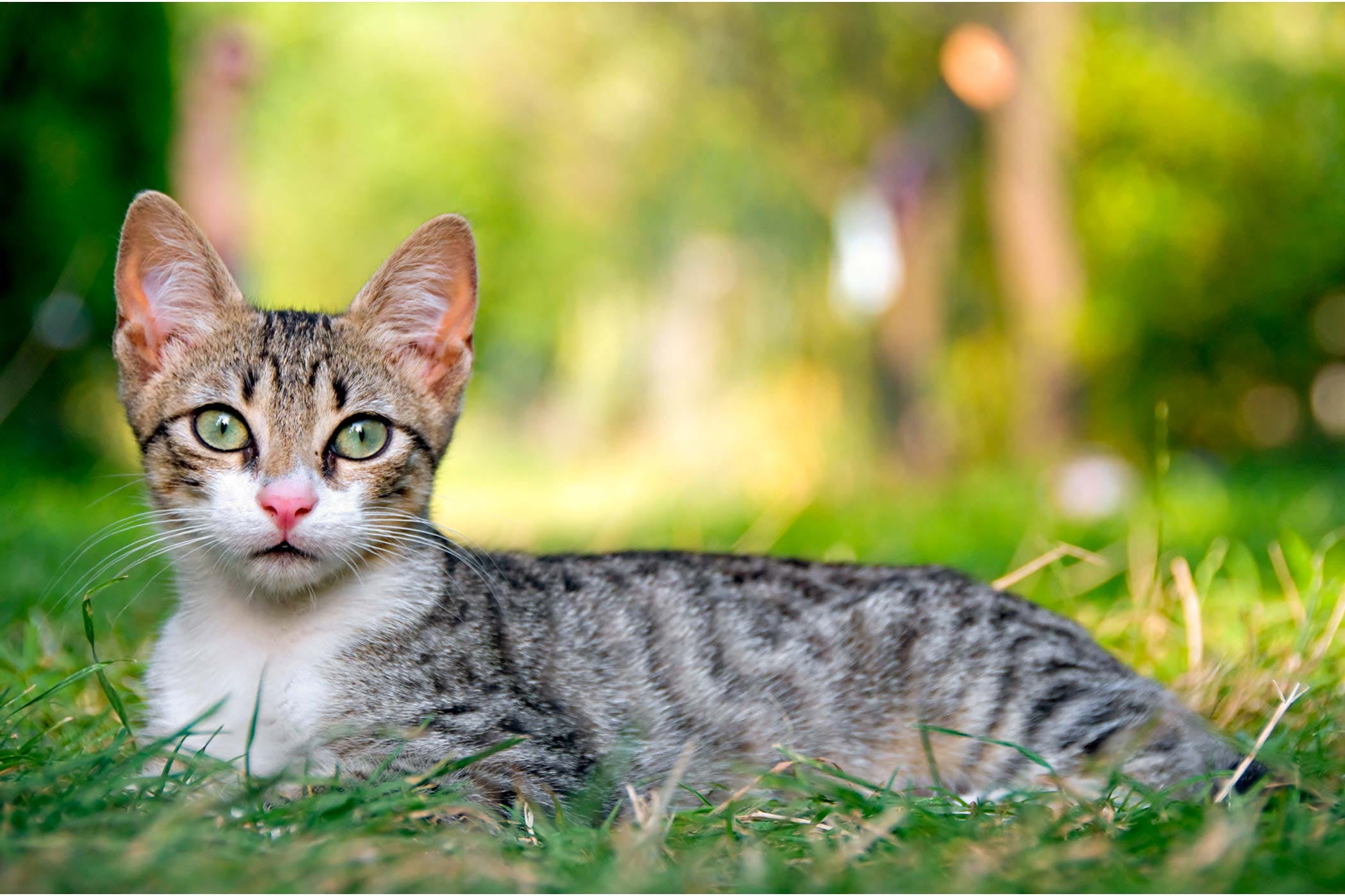 Calcivirosis in cats: symptoms and treatment 39