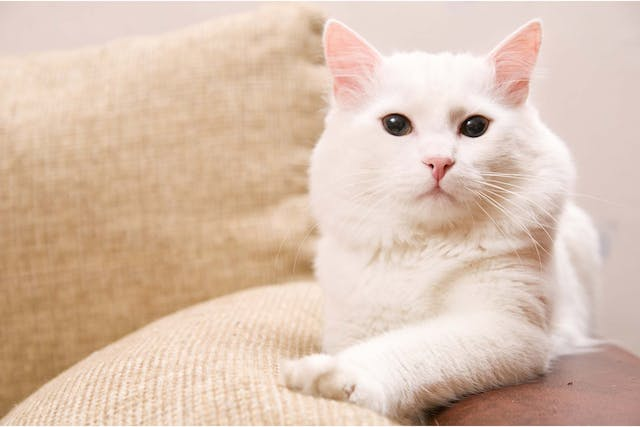 Fluid In The Chest in Cats - Symptoms, Causes, Diagnosis, Treatment, Recovery, Management, Cost