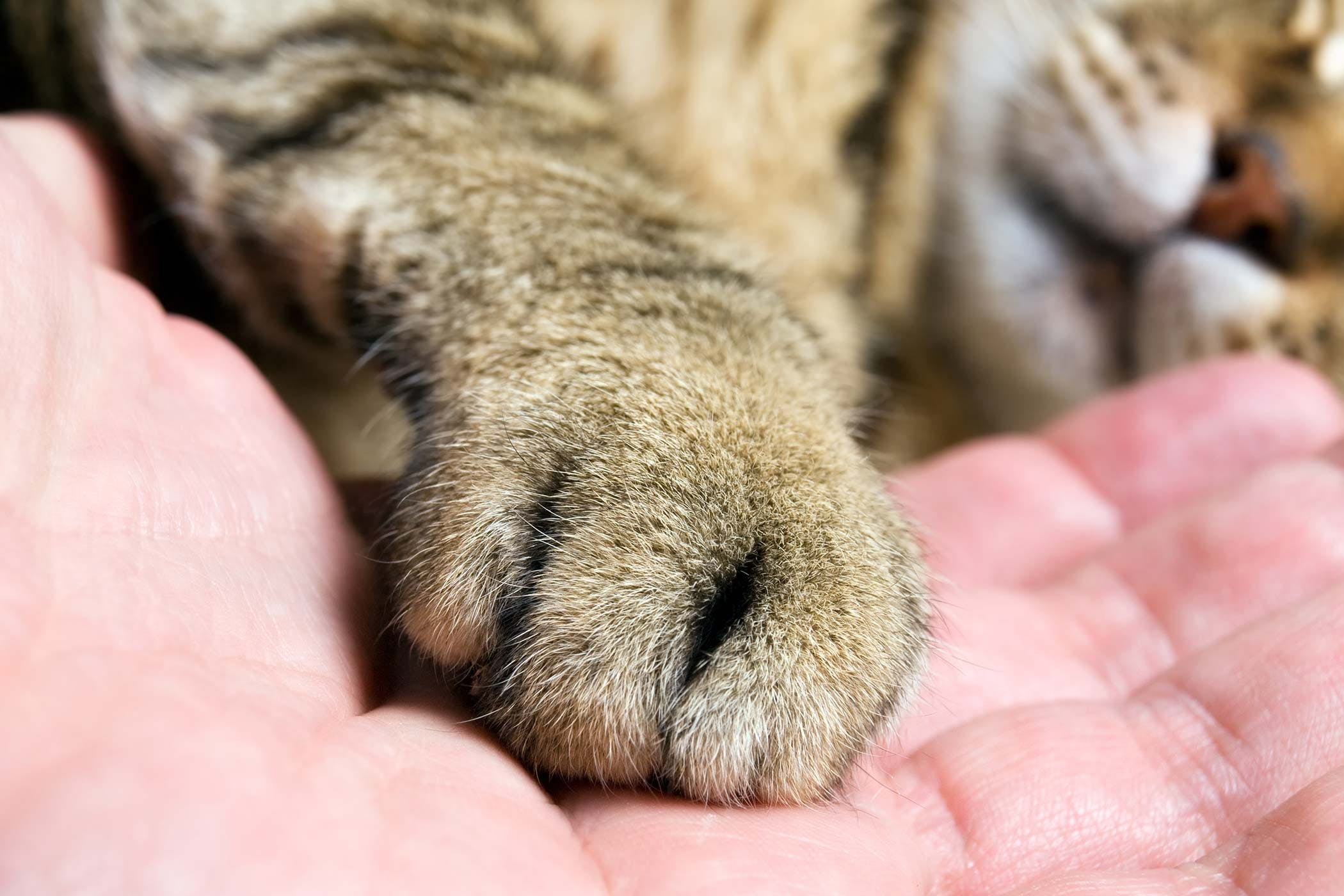 Foot Or Toe Cancer In Cats Symptoms Causes Diagnosis Treatment