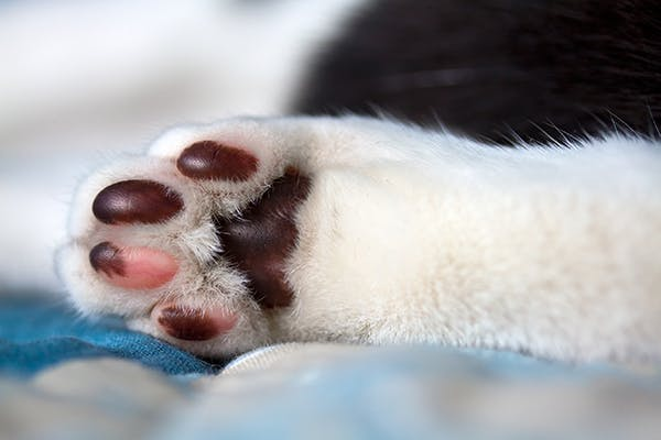 Footpad Injury In Cats Symptoms Causes Diagnosis Treatment