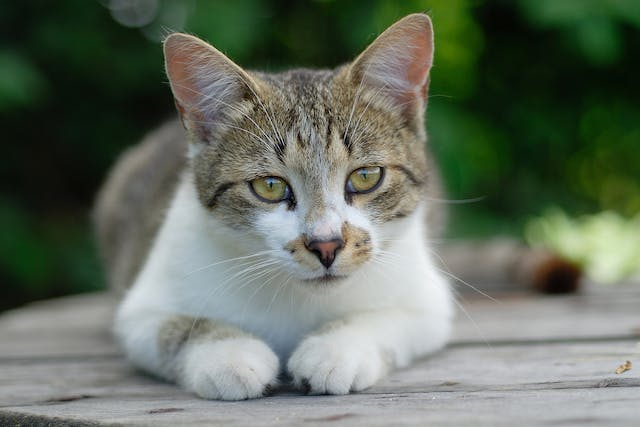 Foreign Body Removal in Cats - Conditions Treated, Procedure, Efficacy, Recovery, Cost, Considerations, Prevention