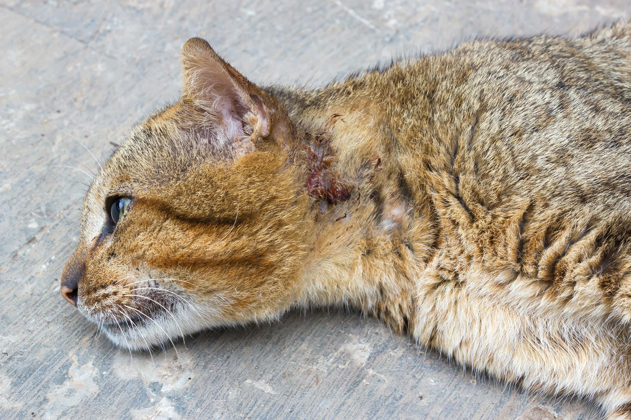 front leg injury in cats symptoms causes diagnosis treatment