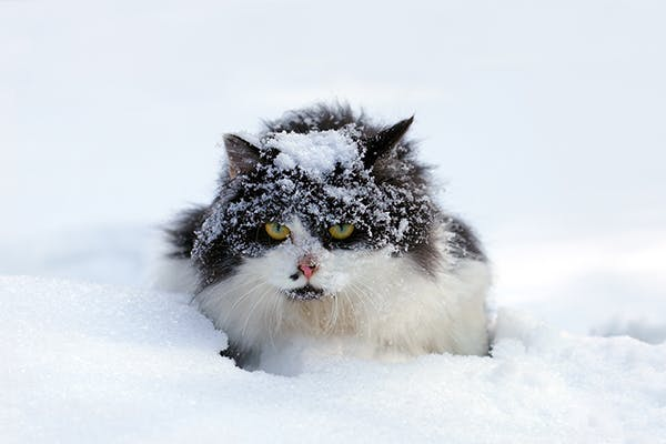 Frostbite in Cats - Symptoms, Causes, Diagnosis, Treatment, Recovery, Management, Cost