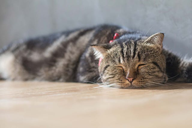 Fungal Toxicosis in Cats - Symptoms, Causes, Diagnosis, Treatment, Recovery, Management, Cost