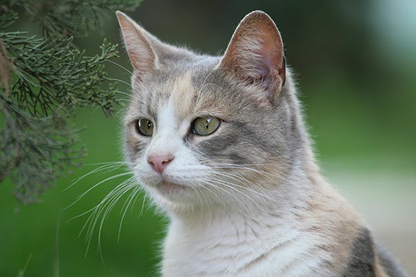 Fungal Yeast Infection in Cats - Symptoms, Causes, Diagnosis, Treatment, Recovery, Management, Cost