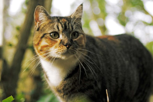 Gallstones in Cats - Symptoms, Causes, Diagnosis, Treatment, Recovery, Management, Cost