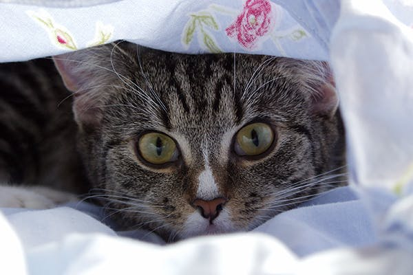 Gammopathies in Cats - Symptoms, Causes, Diagnosis, Treatment, Recovery, Management, Cost