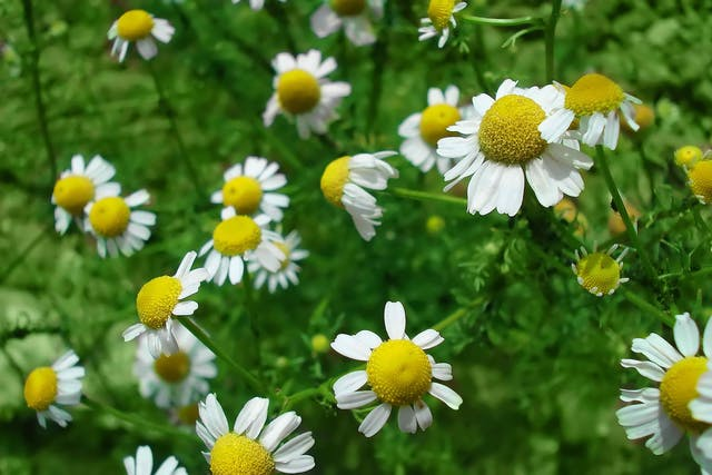 Garden Chamomile Poisoning in Cats - Symptoms, Causes, Diagnosis, Treatment, Recovery, Management, Cost