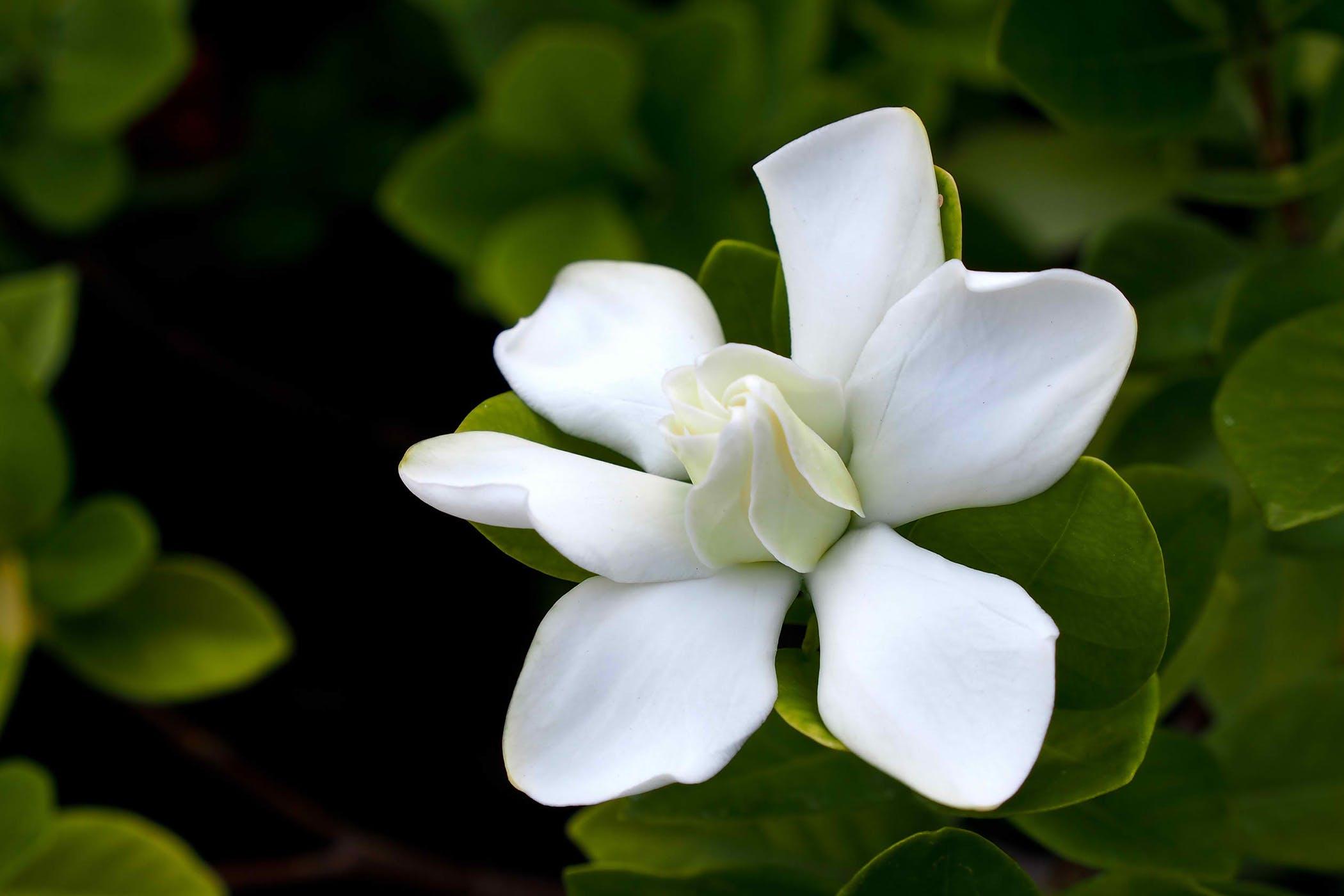 How to grow a beautiful jasmine gardenia house