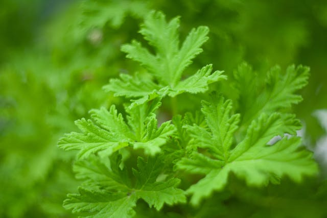 Geranium Leaf Aralia Poisoning in Cats - Symptoms, Causes, Diagnosis, Treatment, Recovery, Management, Cost