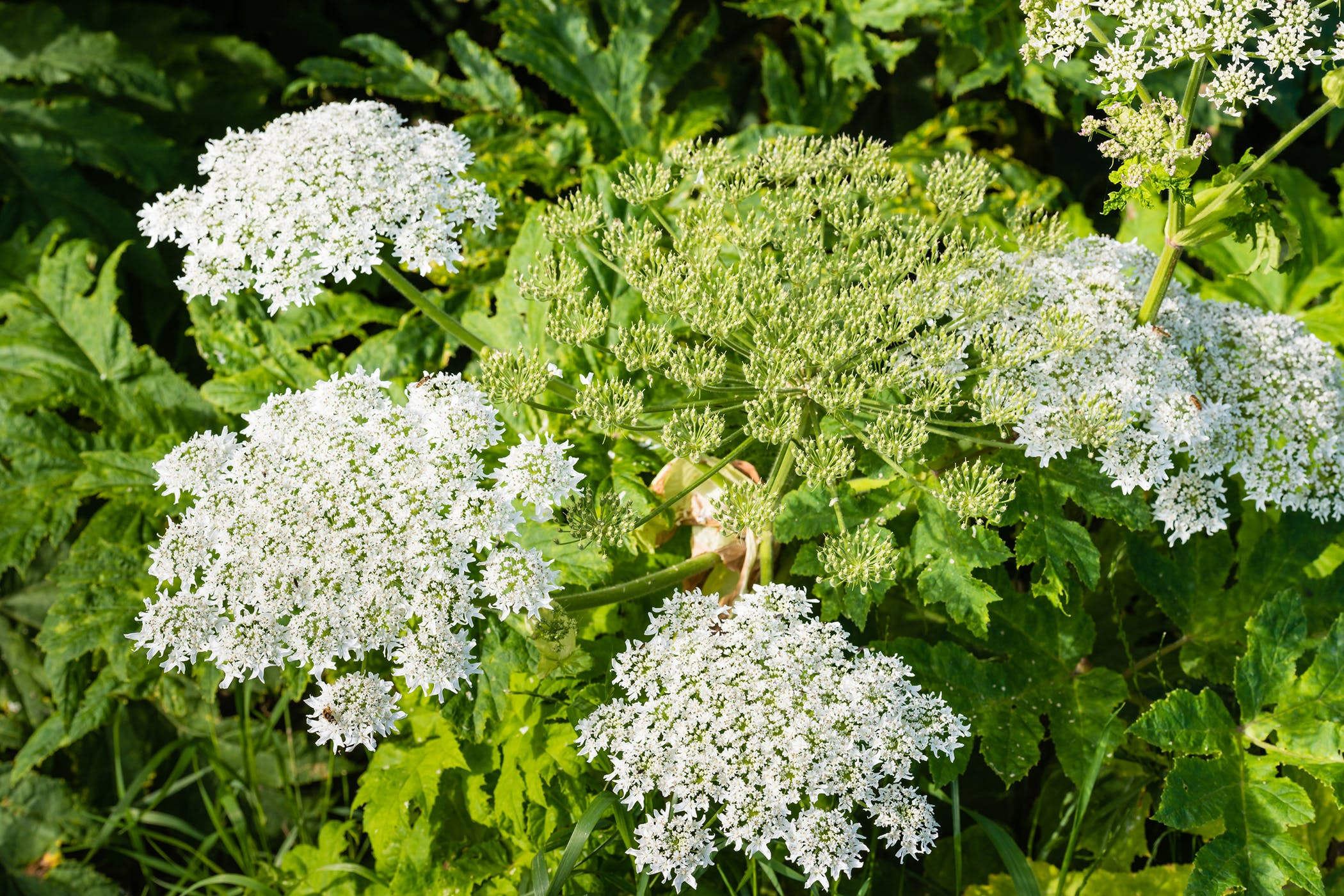 Giant Hogweed Poisoning in Cats